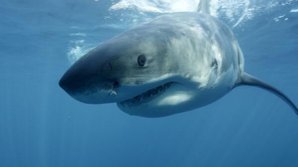 "[UGCPHI-CJ]""@NBCPhiladelphia: Study: Great White Shark numbers are surging along the east coast: http://t.co/ko"