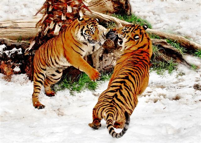 2009 Snow Days Sumatran Tigers in snow-TM (Small)