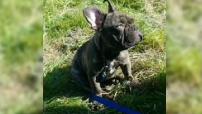 A photo of a 5-month-old French bulldog