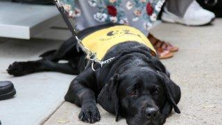 5-21-2018-GDA-Harvey puppy in training
