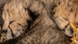 This undated photo provided by the Columbus Zoo and Aquarium shows two cheetah cubs.