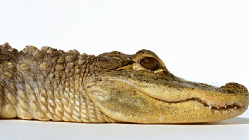 Alligator-Stock-Image
