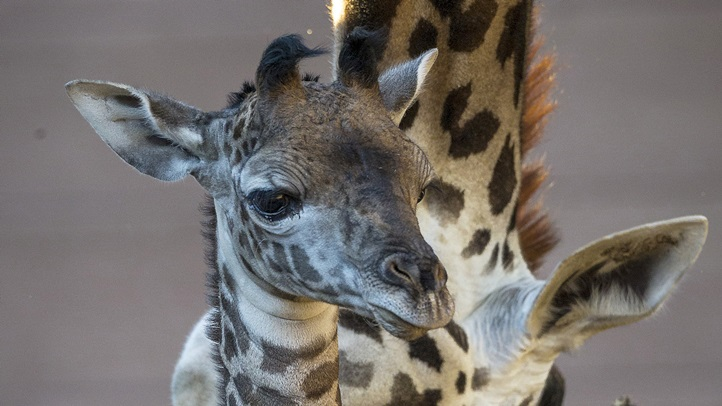 Baby Giraffe Groomed for Introductions