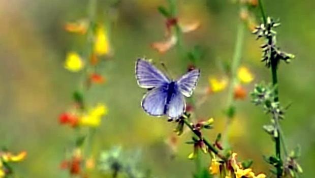 BlueButterfly01