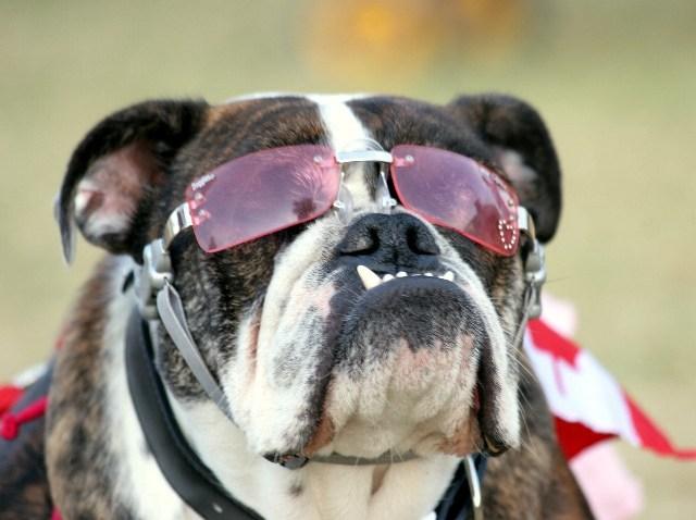 BulldogBeautyGlasses_JustinRudd
