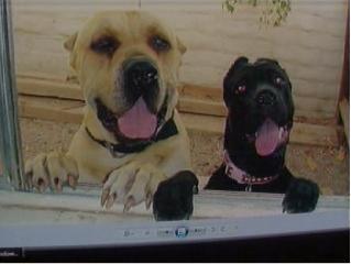 Bullmastiffs Rancho Mirage Death