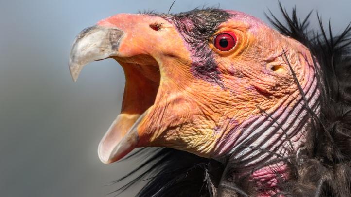 CA Condor Female-Jamie Pham_4287