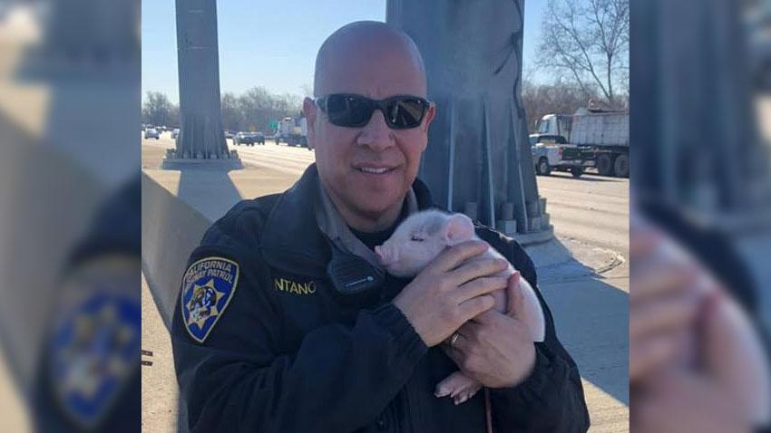 CHP-South-Sacramento-Pig