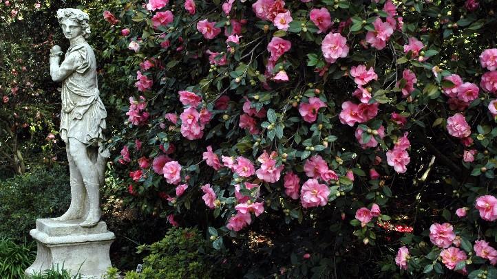 Camellias_HuntingtonGardens