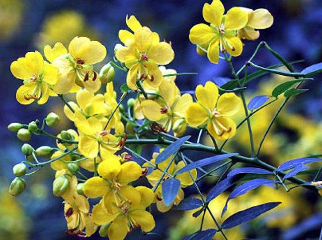 Cassia-Tree-Yellow-Flowers