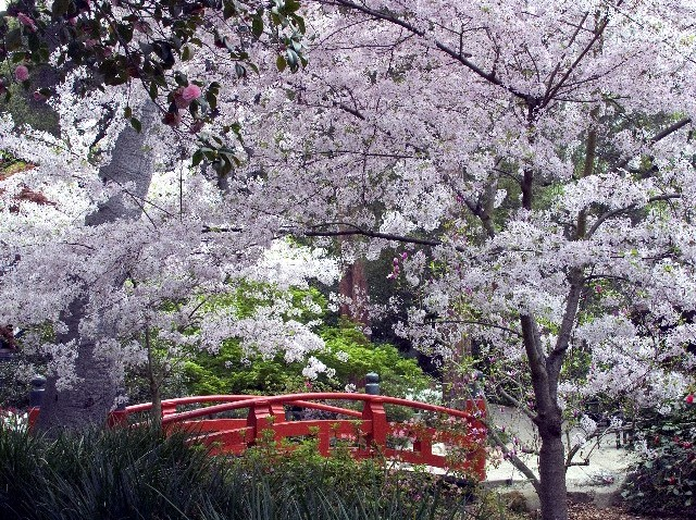 CherryBlossomsDescanso