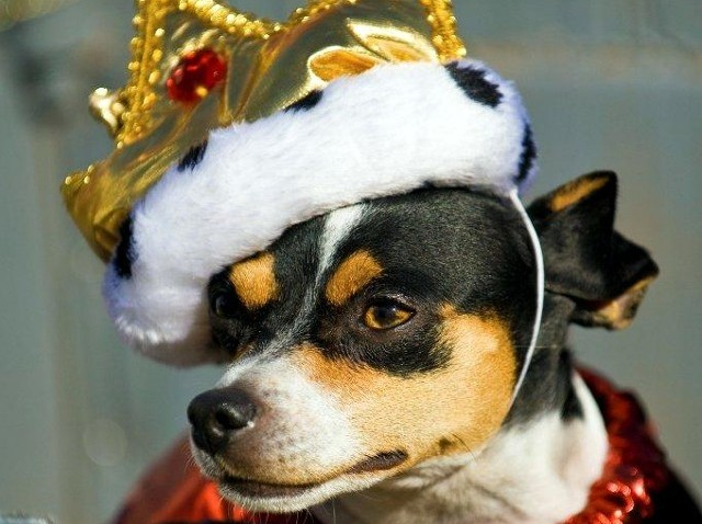 DogCrownHauteDogs