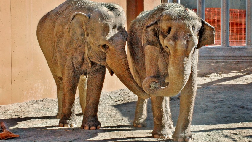 GLAZA ElephantsTinaJewel11-12-10-Motoyama
