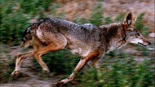 Generic Coyote Generic