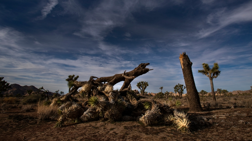 Joshua Tree National Park Damaged Trees Toppled During