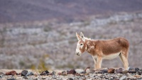 Take Care: Burros Seen on the Death Valley Roads