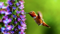 Hummingbirds Zoom at Flowery Fest