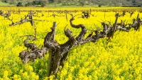 It's Napa Valley's Most Mustardful Season