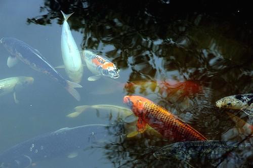 HuntingtonKoiFish