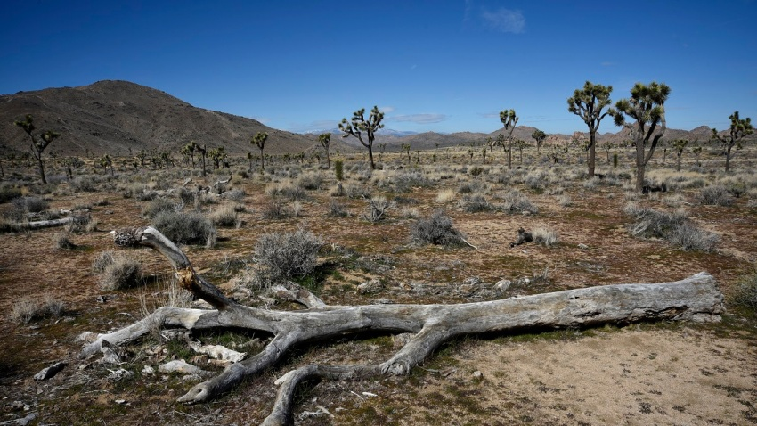 California Joshua Tree Needs Endangered Species Protection