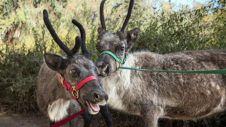 LAZoo-ReindeerBabies