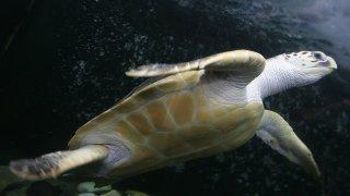 57294611CS009_177kg_Turtle_