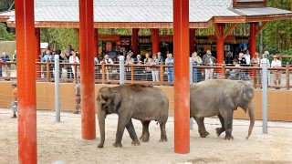 Los Angeles Zoo Elephants Tina Jewel in Thai Yard