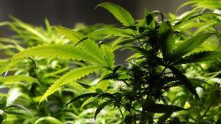 Marijuana33