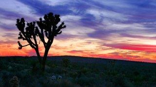 Joshua Tree Mohave Desert