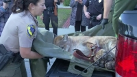 Watch: Drowsy Mountain Lion Removed From Simi Valley Neighborhood