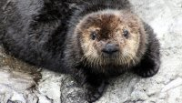 Education and 'Awws' Fill Sea Otter Awareness Week