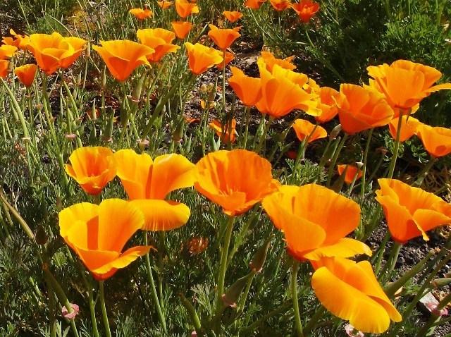 PoppyFlowers1956907