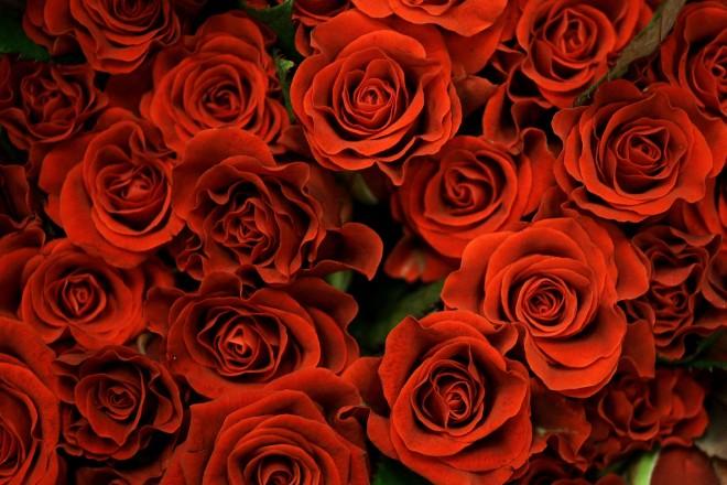 Roses_73255045