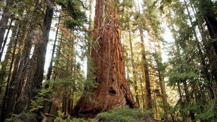 SequoiaTree1175929