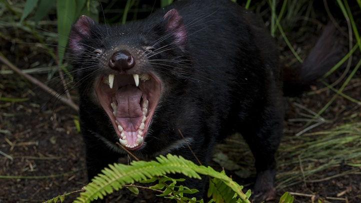 """Four Tasmanian Devils """"Dig"""" Their New Home at the San Diego"""