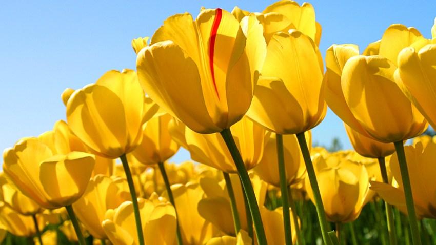 Tulips-portada