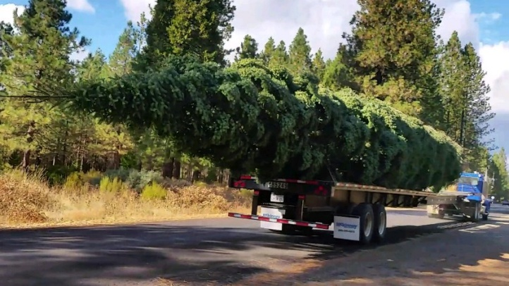 World's Tallest Live-Cut Christmas Tree Heading to Citadel Outlets