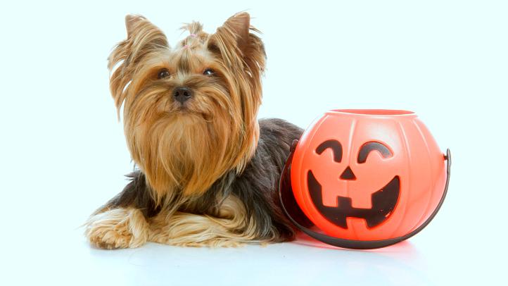 Yorkie-Halloween-722-406