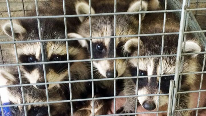 Doorstep Raccoons