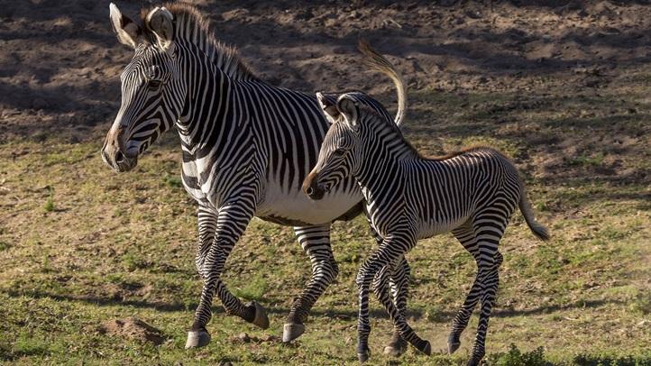 Baby Zebra Explores Habitat at San Diego Zoo Safari Park