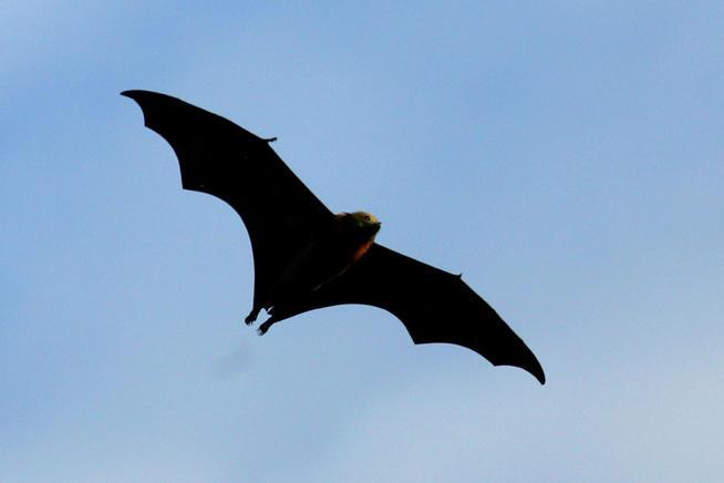 bat-flying1