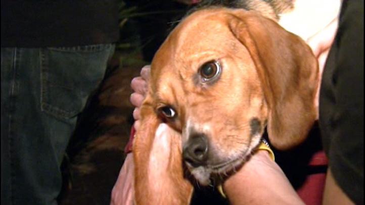 beagle_rescue_freedom_laboratory