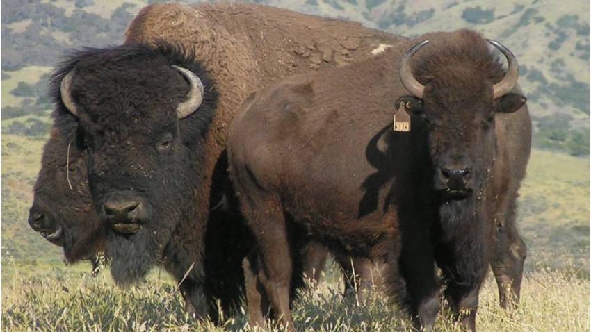 bison group with tag