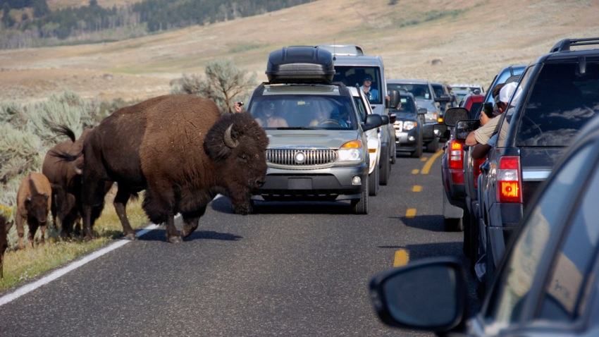In this Aug. 3, 2016, file photo, a bison blocks traffic as tourists take photos of the animals in the Lamar Valley of Yellowstone National Park in Wyoming.