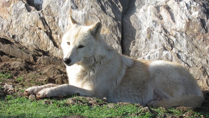 californiawolfjulian