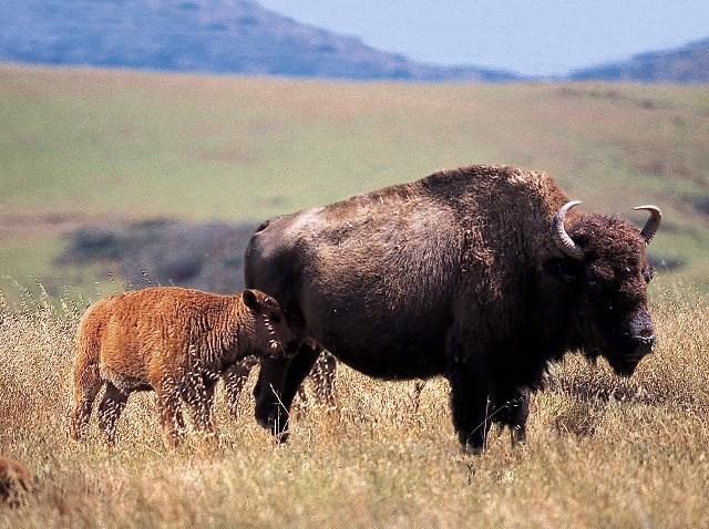 catalinababy buffalo-spring