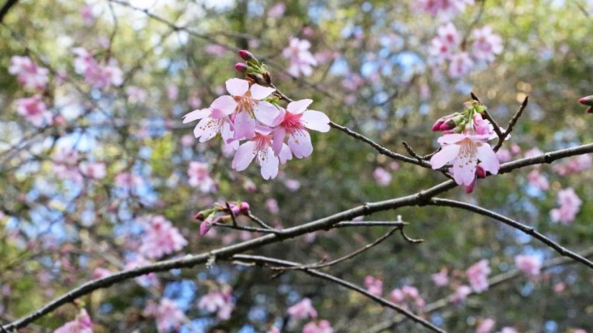 Descanso S Cherry Blossoms Begin To Pop Nbc Los Angeles