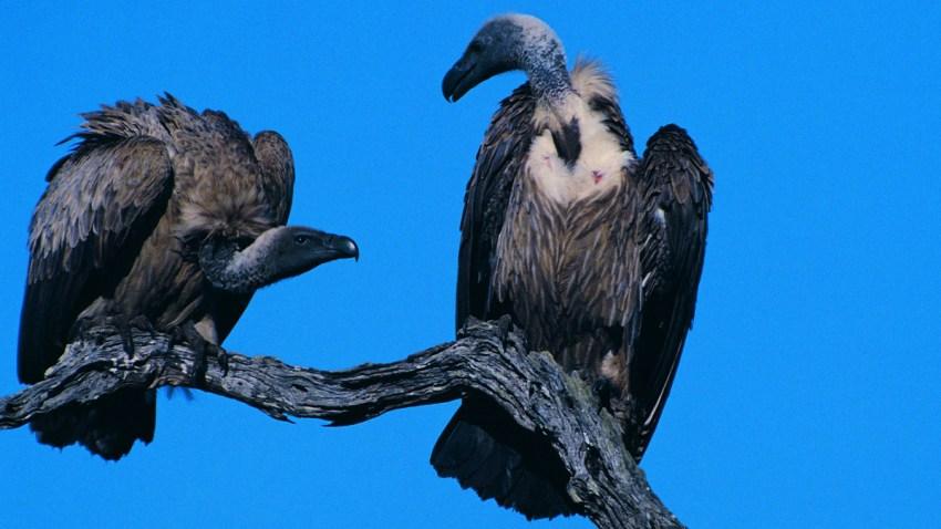 020309 vultures p1
