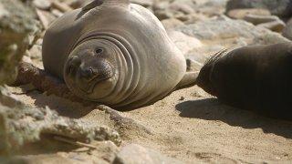 elephant seal face 2