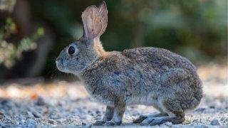 rabbit pictured in the desert